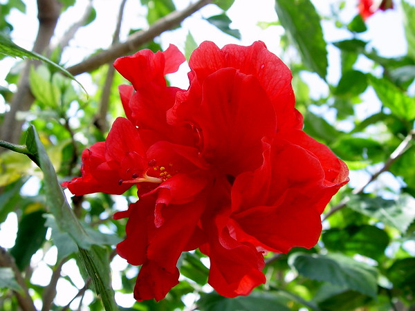 Celia%20%28Double%20Red%29%20Hibiscus%20%28Hibiscus%20rosa-sinensis%29%20%20%28May%2013,%202005%29