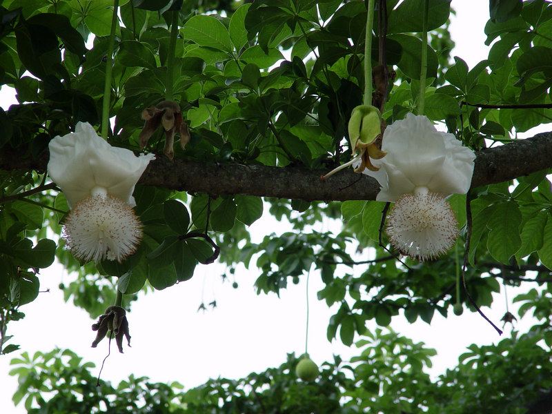 Baobab Tree Flowers http://newenglander.smugmug.com/Travel/Florida-Fairchild-Tropical/Fairchild-Tropical-Botanic/1647120_VQG2sk/80486041_fg2fds8