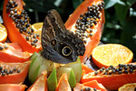 Giant Owl Butterfly in Wings of the Tropics