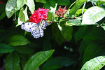 Butterfly in Wings of the Tropics