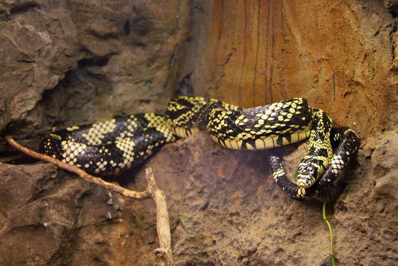 <b>Tiger Rat Snake</b> <i>(Spilotes pullatus)</i> - This nonvenomous snake has especially large eyes which enables it to see well at night - when it prefers to hunt.  It vibrates the tip of its tail and hisses loudly to ward off hungry predators.